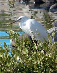 Mangrove egret