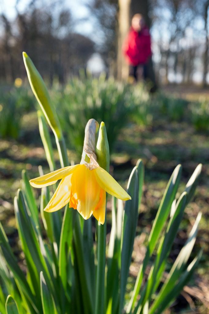 daffodil bokeh | temple newsam | leeds