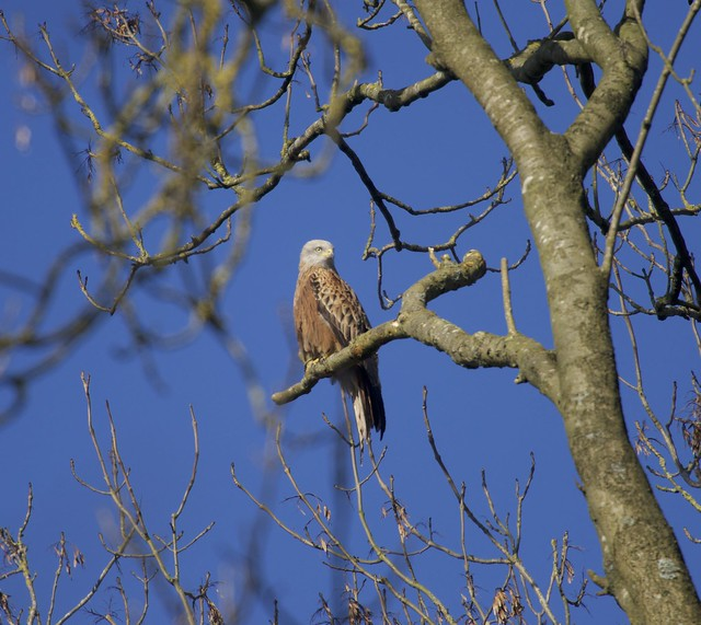 Red Kite  on his perch