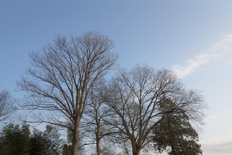 近所の立派な木