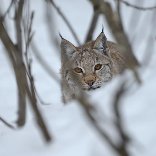 The_lynx.