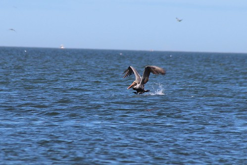 IMG_7024_Pelican_at_Howard_Beach
