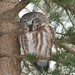 Northern Saw-whet Owl by Amanda Larracuente