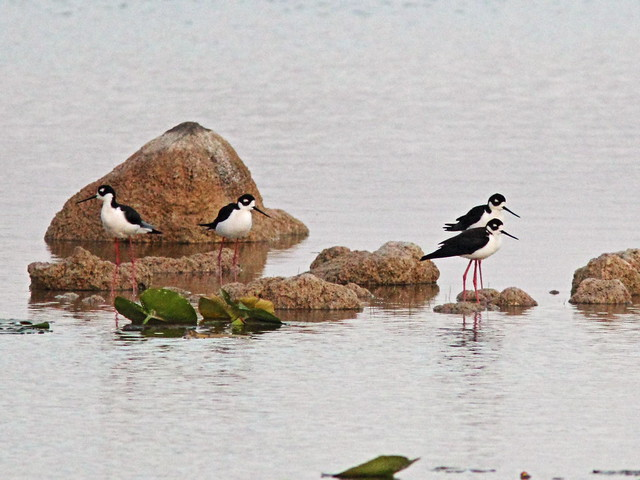 Black-necked Stilts 3-20160411