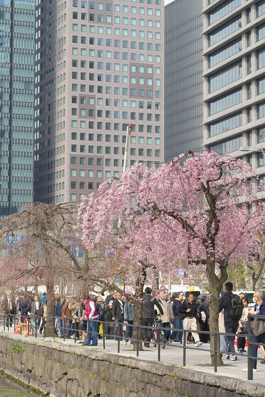 東京路地裏散歩 皇居の桜 2016年3月31日