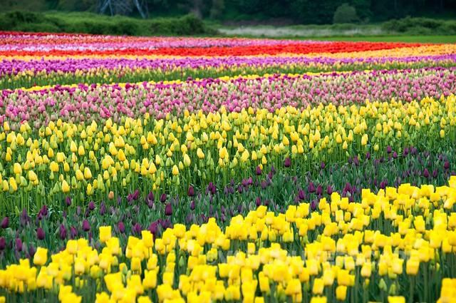 Abbotsford Tulip Festival-4
