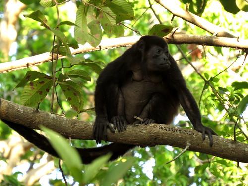 mammal monkey mono howler mamífero aullador