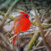 Cardinal by A Great Capture