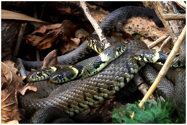 5 Grass Snakes.