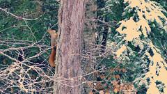 Petit écureuil des forêts alpines.