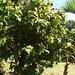 starr-061223-2794-Bixa_orellana-habit-Makawao-Maui