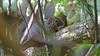 Layard's Striped Squirrel
