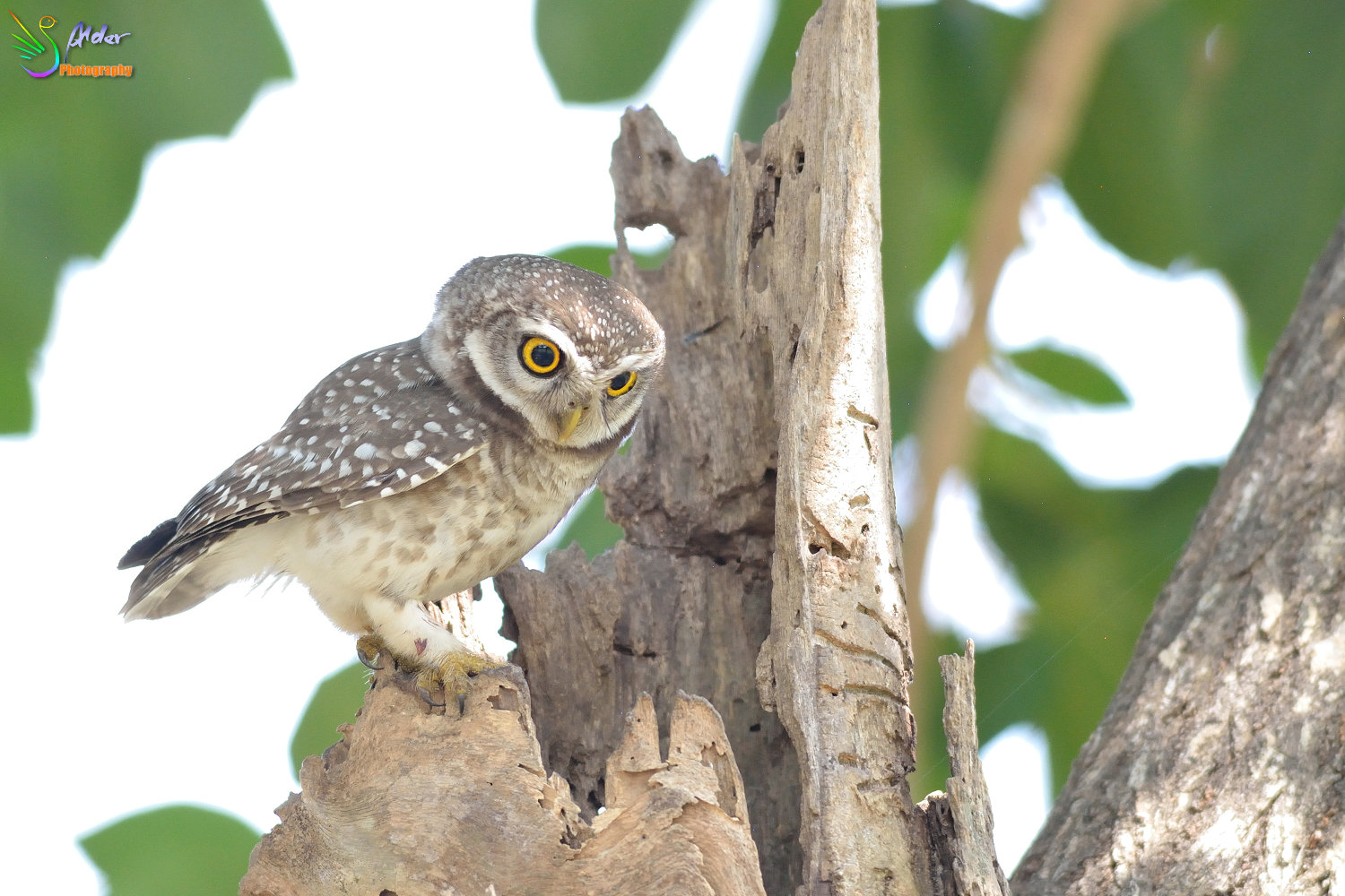 Spotted_Owlet_2692