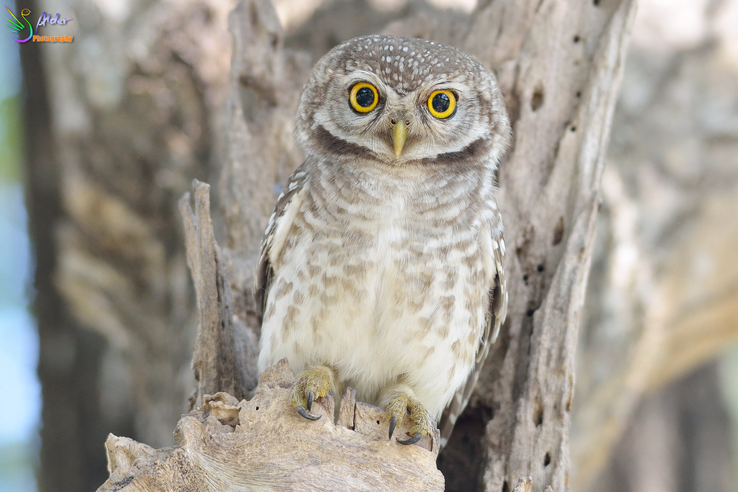 Spotted_Owlet_3470