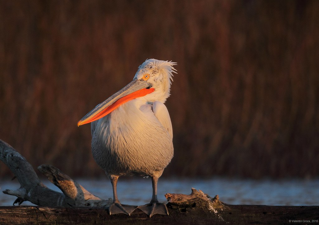 11_pelican cret 002