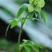 Helleborus viridis - Hellébore vert by Ruddy CORS