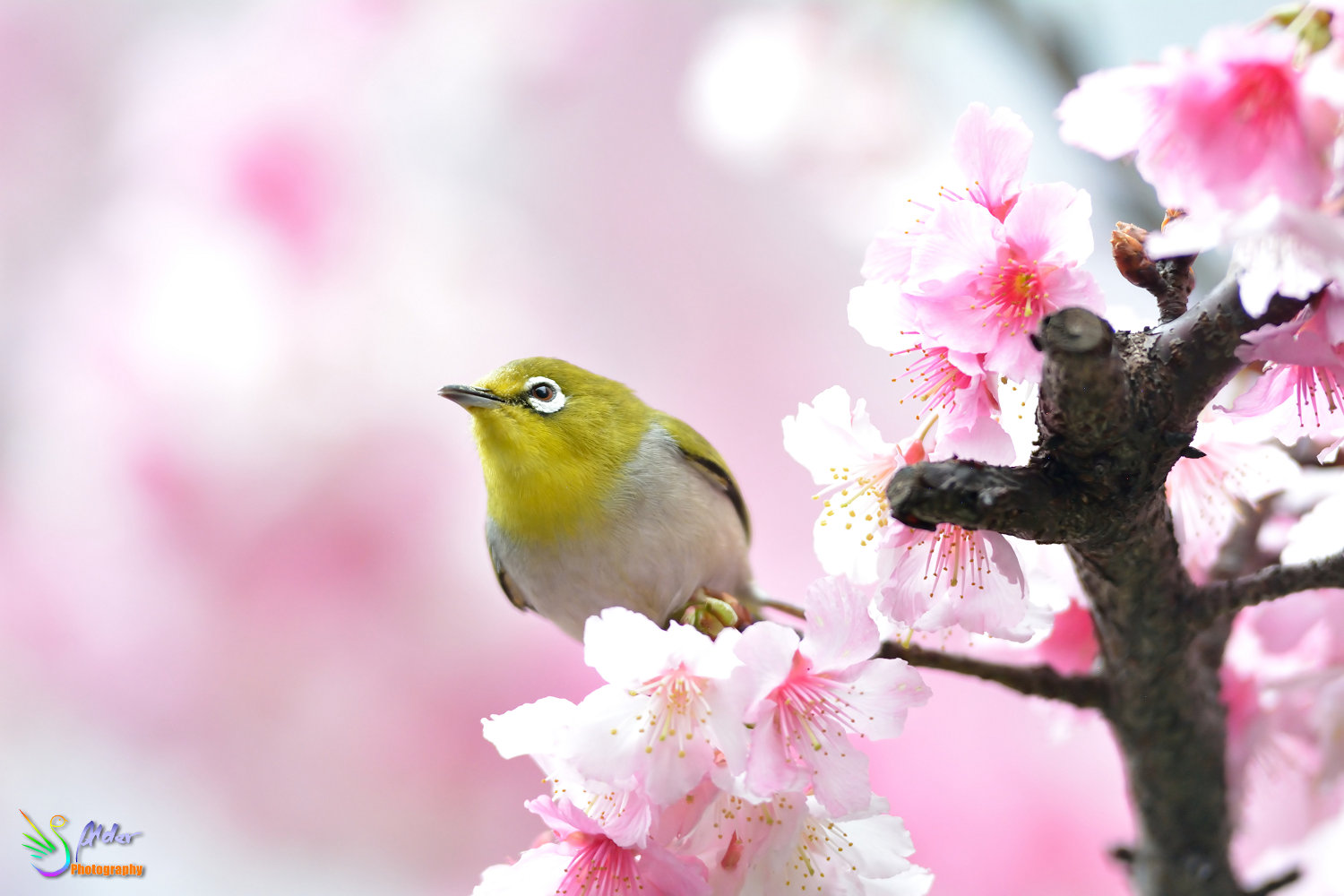 Sakura_White-eye_7372