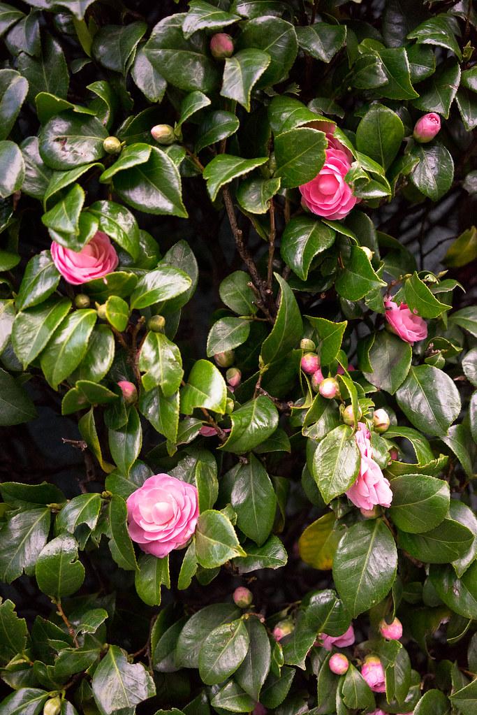 camellia-2