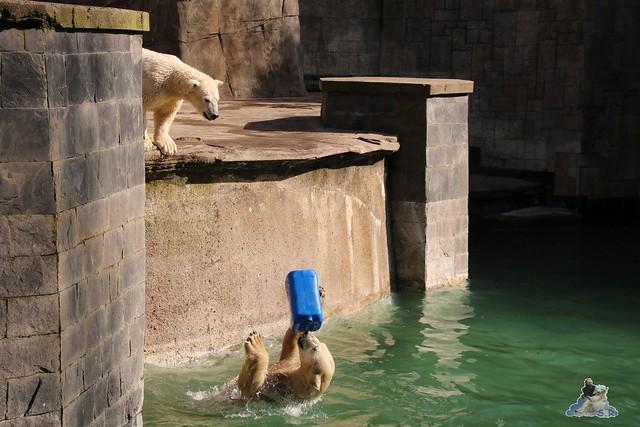 Eisbär Fiete im Zoo Rostock 20.03.2016  0142