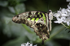 Tailed Jay with Closed Wings