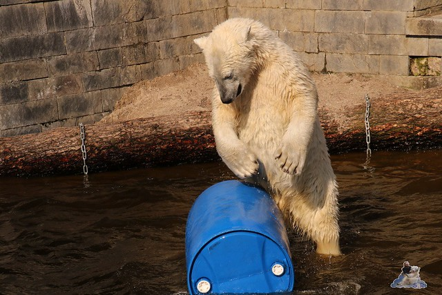 Eisbär Fiete im Zoo Rostock 16.04.2016  238