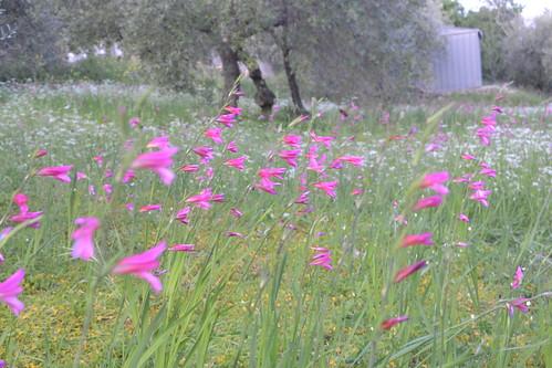 Gladioli selvatici al vento - wild gladiolus in the wind