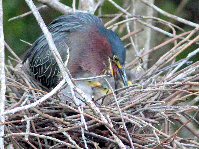 Green Heron feeding nestlings HDR  05- 20160414