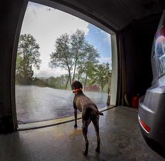 G1054557 Piper watching liquid sunshine out the garage door