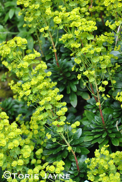 Euphorbia 'Wood Spurge'