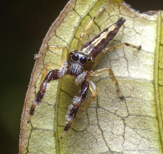 Bavia sp. ♀ (Selangor)