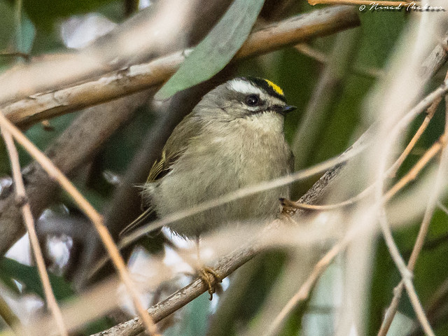 Golden-crowned Kinglet (UCR #176, Riverside #305)