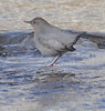 American Dipper Boulder Cty CO 1.08