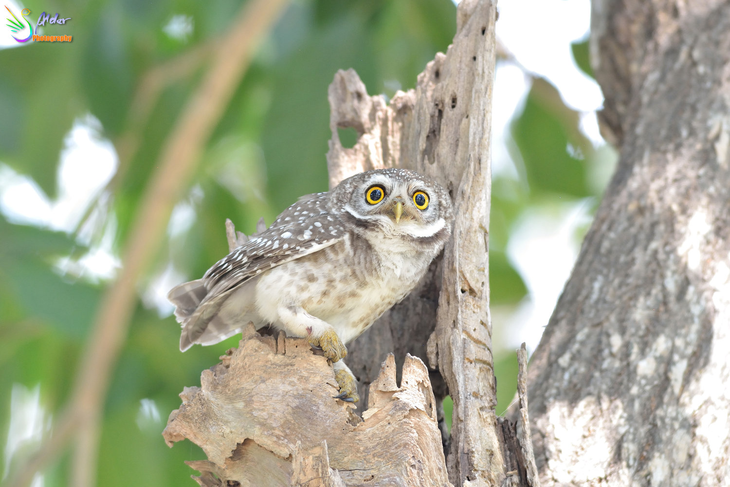 Spotted_Owlet_2750