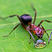 Formica sanguinea slave maker ant by Tibor Nagy