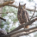 Great Horned Owl and two owlets by keithcarver