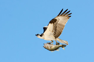Florida Trip - An Osprey Snags Lunch - March 2016 | by pmarkham