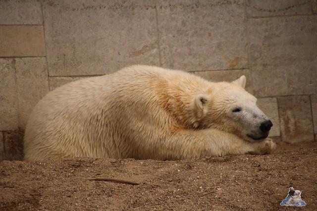 Eisbär Fiete im Zoo Rostock 20.03.2016  023