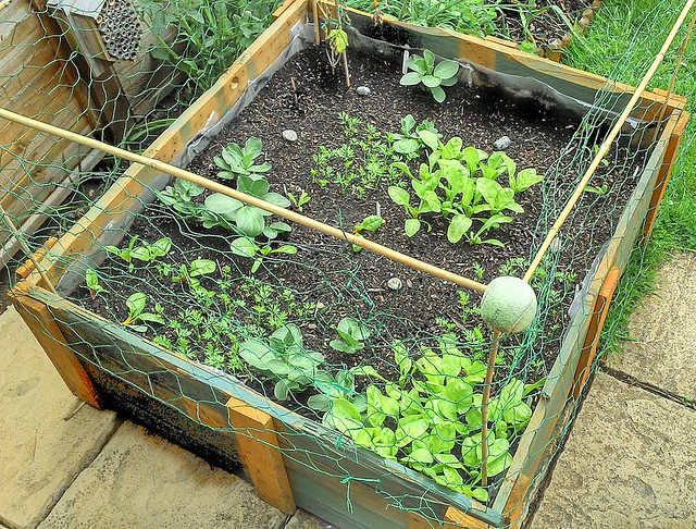 raised_bed_leafing_20130512