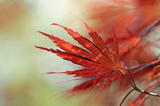 Japaneese Maple