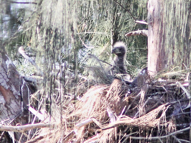Bald Eagle - one eaglet in nest 3-20160410