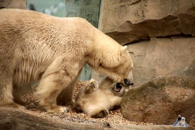 Eisbär Lili im Zoo am Meer Bremerhaven 09.04.2016 Teil 2  052