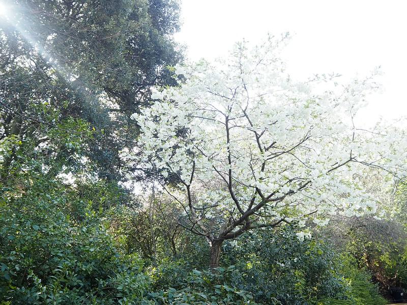 ststephensparkP4171737, st stephens park, ireland, irlanti, dublin, city centre, cherry blossom, kirsikankukka puu, trees, puut, valkoinen, white, flowers, kaunis, beautiful, cherry blossom tree,