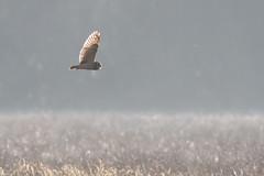 HolderShort Eared Owl (Asio flammeus)