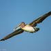 Brown Pelican by Matt Cuda - www.mattcuda.com