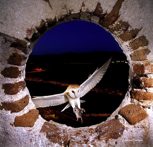 Barn Owl (Tyto alba) - José Luis Rodríguez Sánchez