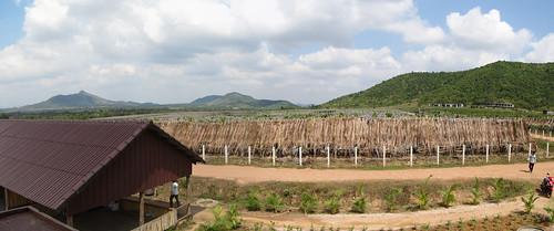 Kampot: plantation de poivre