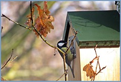 Nesting in January? Great tit(Parus major)