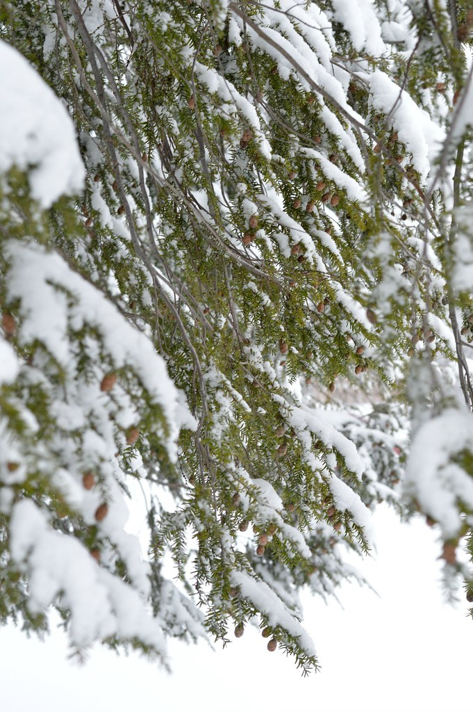snow on a pine tree in january