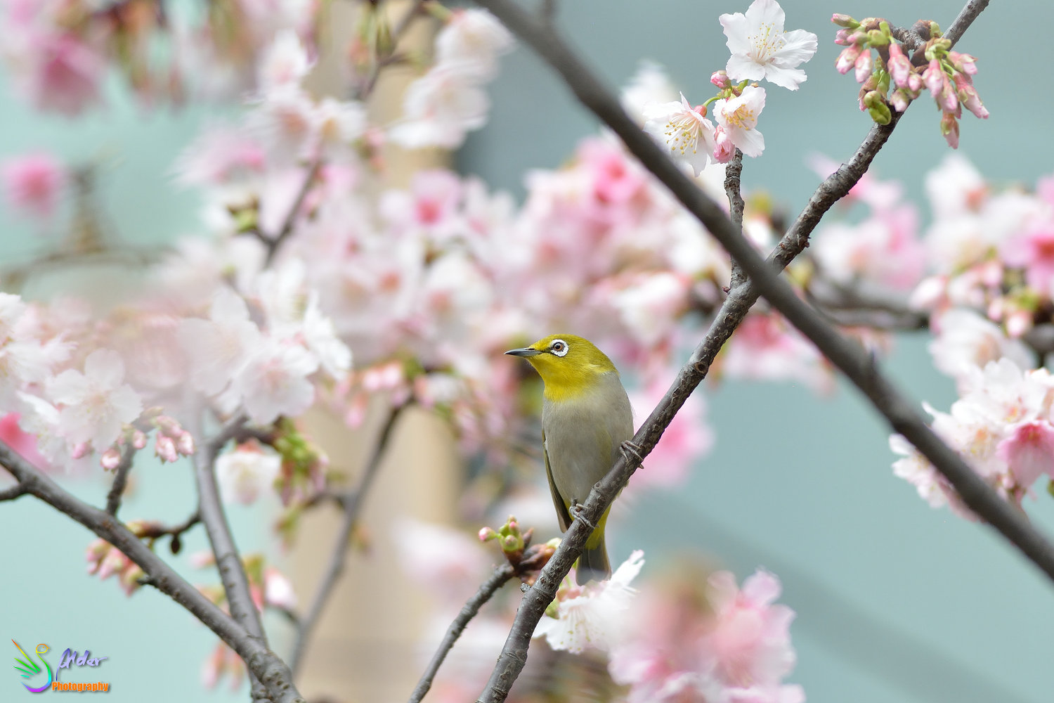 Sakura_White-eye_6701