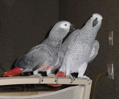 african-gray-parrot-and-parrot-egg-for-sale-for-x-mas-4ed4a412565b8cd66ad7